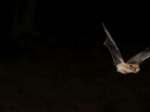 Vliegende vleermuis2